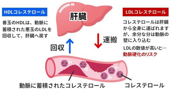 コレステロール hdl