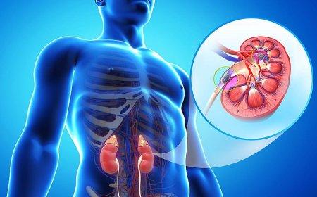 腎臓の拡大図